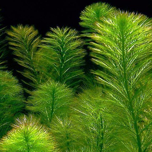 Foxtail Green Bunched Aquarium Plant