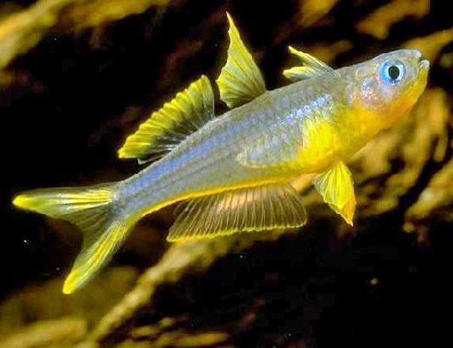Furcata tropical rainbowfish arizona aquatic gardens for Tropical rainbow fish