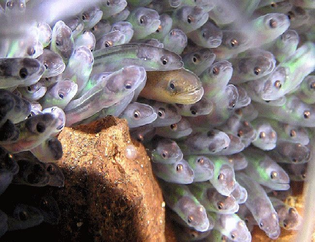 Brackish Aquarium Fish