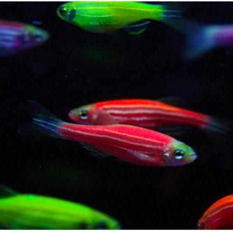 GloFish® Danios Freshwater Aquarium Fish