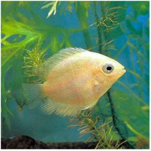 Gold Severum Freshwater Fish