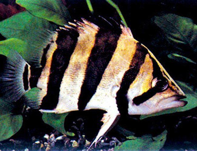 Gold tigerfish freshwater aquarium fish arizona aquatic for Freshwater schooling fish
