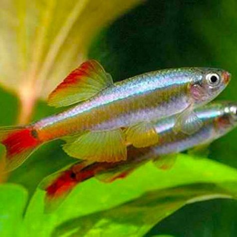 Golden White Cloud Mountain Minnow