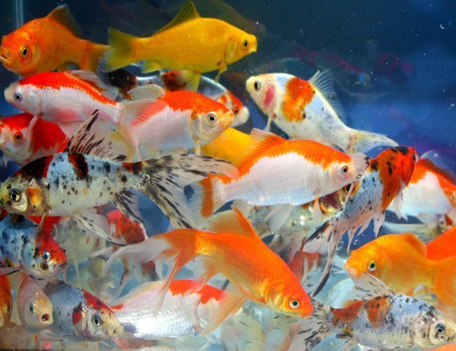 Comet goldfish assorted bulk pack pond stocker arizona for Bulk koi fish for sale