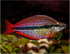 Goyder River Tropical Rainbowfish