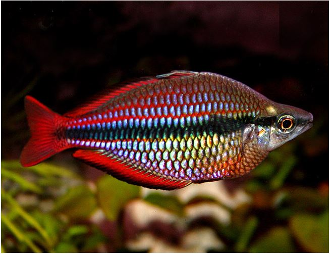 African turquoise jewel cichlid arizona aquatic gardens for Turquoise rainbow fish