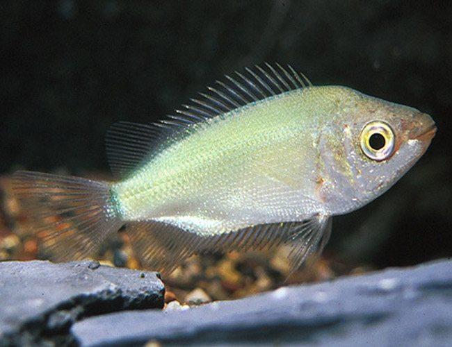 Green kissing gourami fish arizona aquatic gardens for Kissing gourami fish