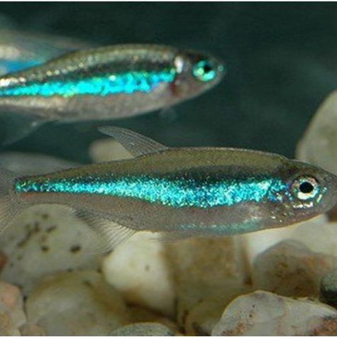 Green Neon Tropical Tetra