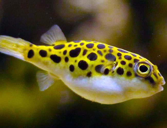 Green spotted puffer fish arizona aquatic gardens for Spotted puffer fish