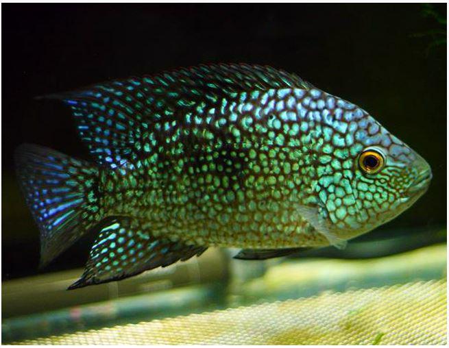 Green Texas Cichlid Rio Grande Cichlid