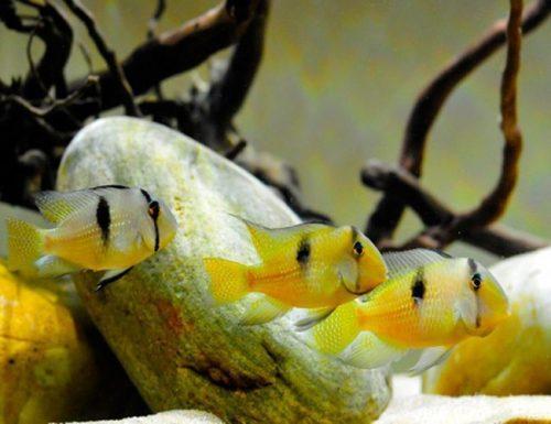 Guianacara Dacrya Cichlid
