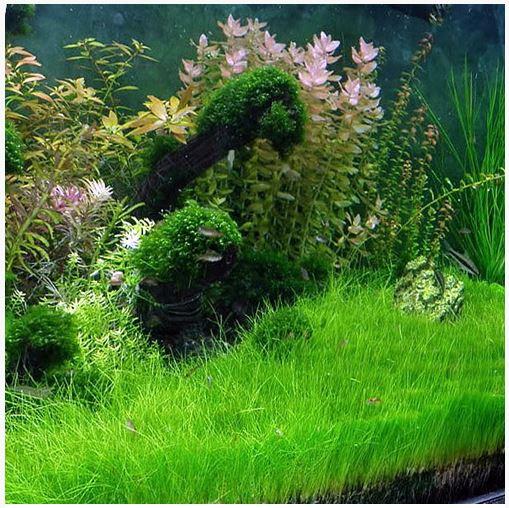 Hairgrass Dwarf Mat Eleocharis Acicularis