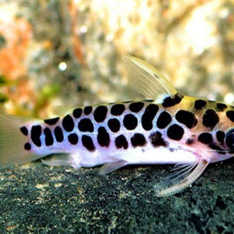 Honeycomb Catfish