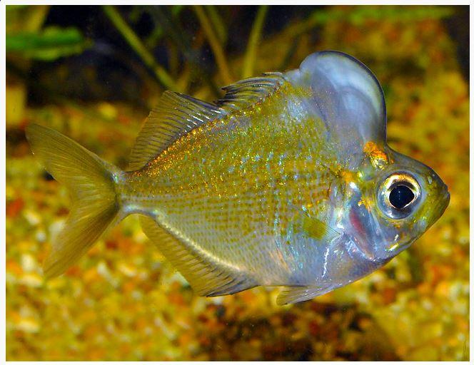 Humphead Perchlet or Humphead Glassfish
