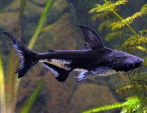 Freshwater Tropical Iridescent Shark