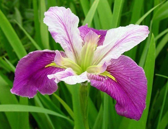 Hardy Wetlands & Bog Plants