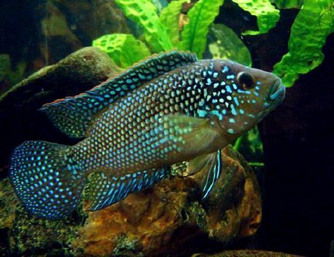 Jack dempsey new world cichlid arizona aquatic gardens for Jack dempsy fish