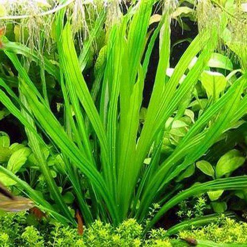 Jade Hormanii Uruguayensis Sword Echinodorus uruguayensis