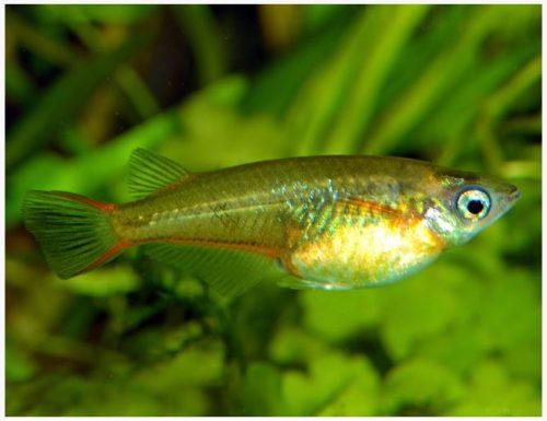 Japanese Medaka Rice Killifish