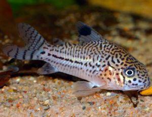 Cory - Julii Cory Catfish