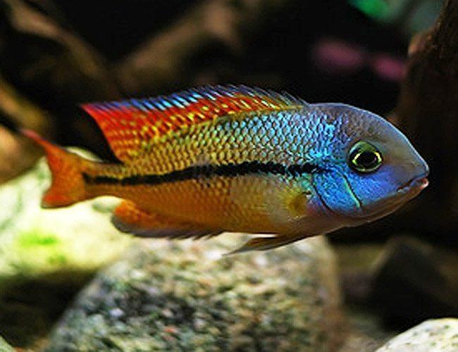 Cichlid | Large Nicaragua Cichlids Central American Cichlids Arizona