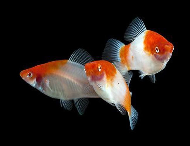 Koi kohaku swordtail aquarium fish arizona aquatic gardens for Exotic koi fish