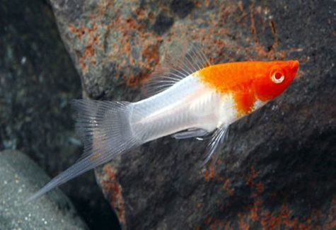 Koi kohaku swordtail aquarium fish arizona aquatic gardens for Kohaku koi fish for sale