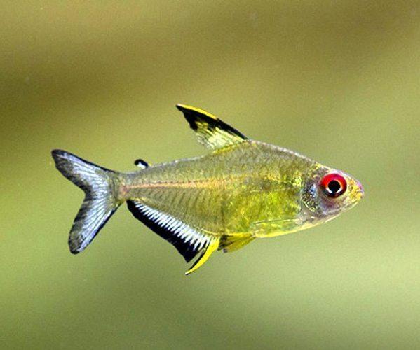Lemon Tetra Fish