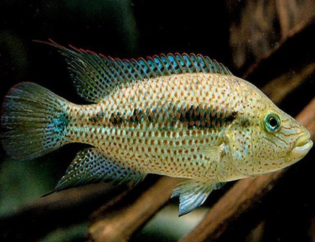Lesser Wolf Cichlid Freshwater Fish Arizona Aquatic Gardens