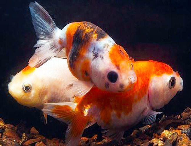 Lionhead Goldfish, Outdoor Pond Fish