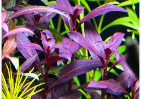 Oxygenating Pond Plants