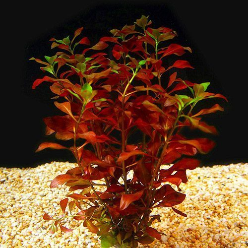 Ludwigia-Repens-Broadleaf-Plant Red Broadleaf Houseplants on flowers red, berries red, cactus red, ornamental grasses red, animals red, pots red, design red, peppers red, nature red, mums red, orchids red,
