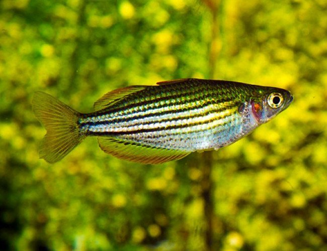 Maccullochi tropical dwarf rainbowfish arizona aquatic for Dwarf rainbow fish