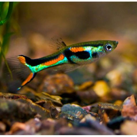 Male Endlers Livebearer Fish