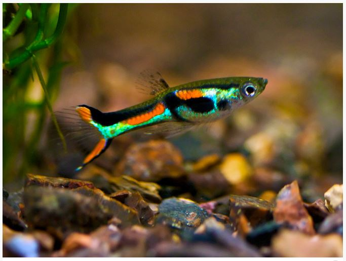 Endler 39 s livebearer fancy guppy male arizona aquatic gardens Livebearer aquarium fish