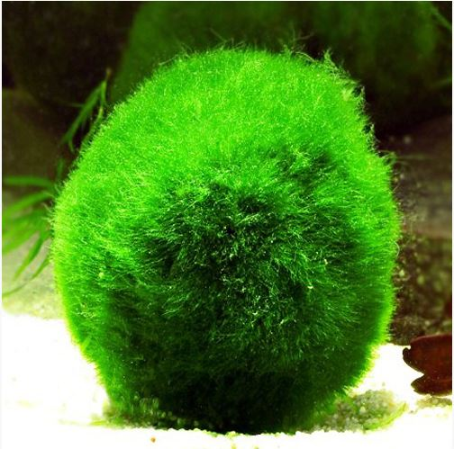 Marimo-Russian-3-Underwater-Mini-Moss-Ball