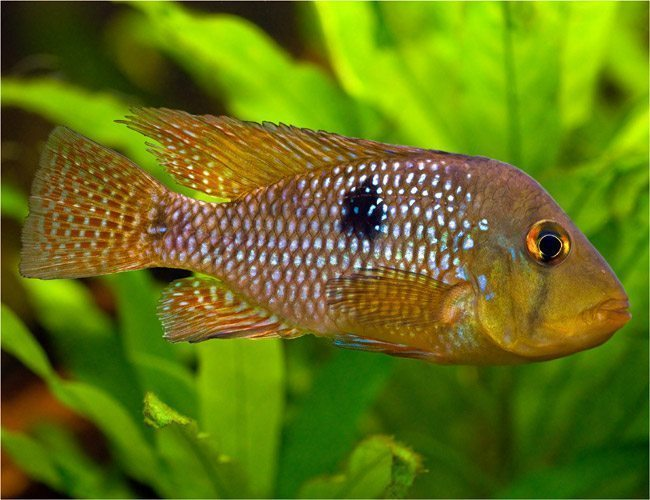 Mother of Pearl Cichlid Pond Fish