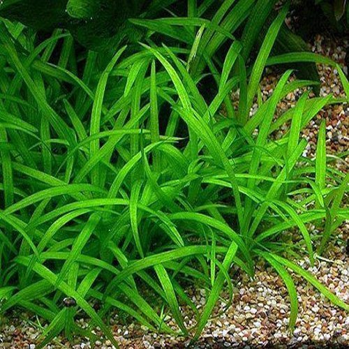 Narrowleaf Chain Sword Tennelius Aquarium Plant