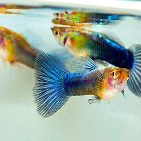 Neon Blue Guppy Male