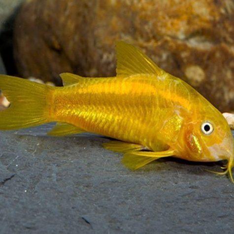 Neon Orange Laser Cory Catfish