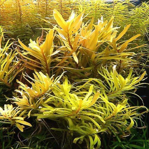 Nesaea pedicellata Golden Potted Form