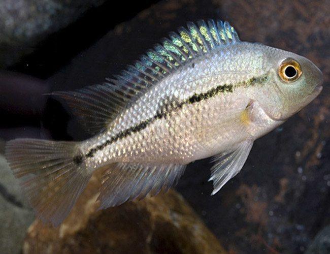 Nicaragua Cichlid Freshwater Aquarium Fish Arizona Aquatic Gardens
