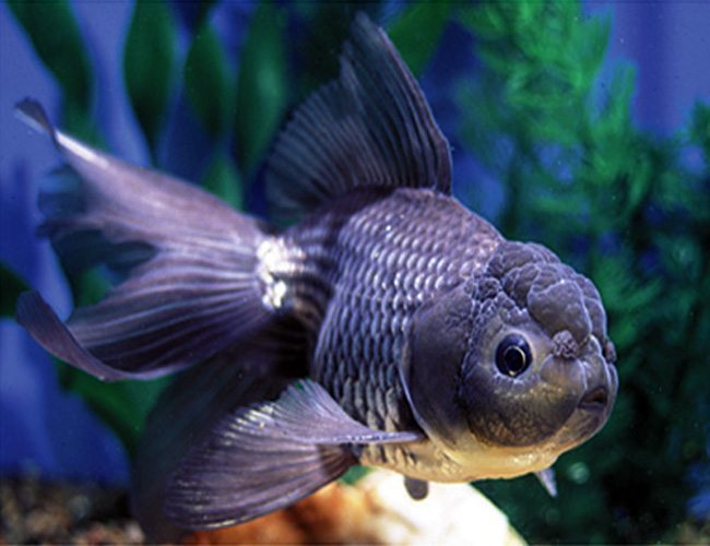 Oranda Blue or Oranda Goldfish