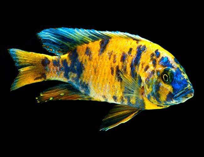 "Orange Blotch Peacock Cichlid 3"" + | Arizona Aquatic Gardens"