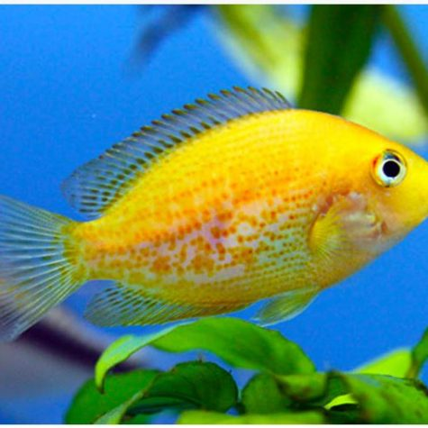 Orange Chromide Freshwater Aquarium Fish
