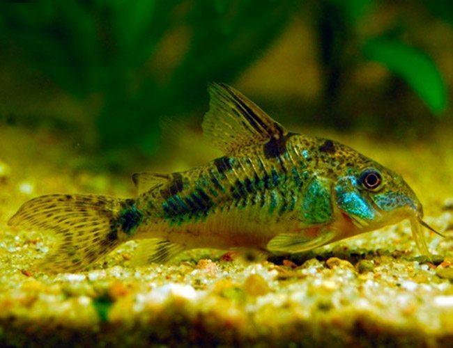Peppered paleatus cory catfish arizona aquatic gardens for Cory cat fish