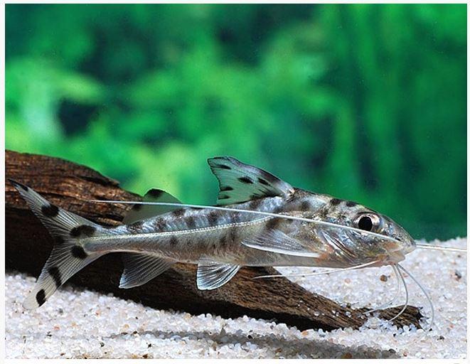 Catfish For Sale >> Pictus Catfish Arizona Aquatic Gardens