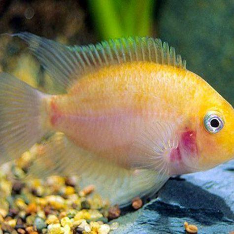Pink Convict Cichlid Pond Fish
