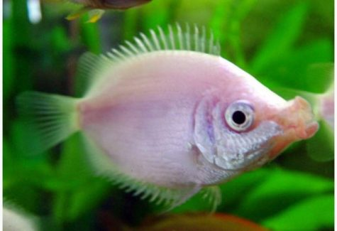 Licorice gourami fish arizona aquatic gardens for Pink kissing fish