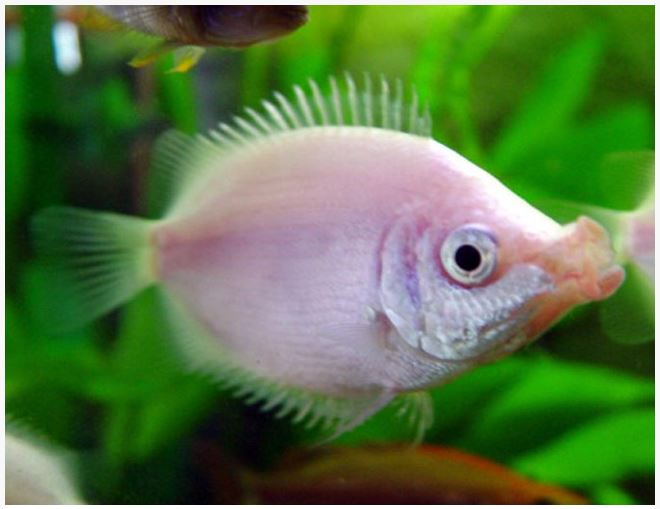 Pink kissing gourami fish arizona aquatic gardens for Pink kissing fish
